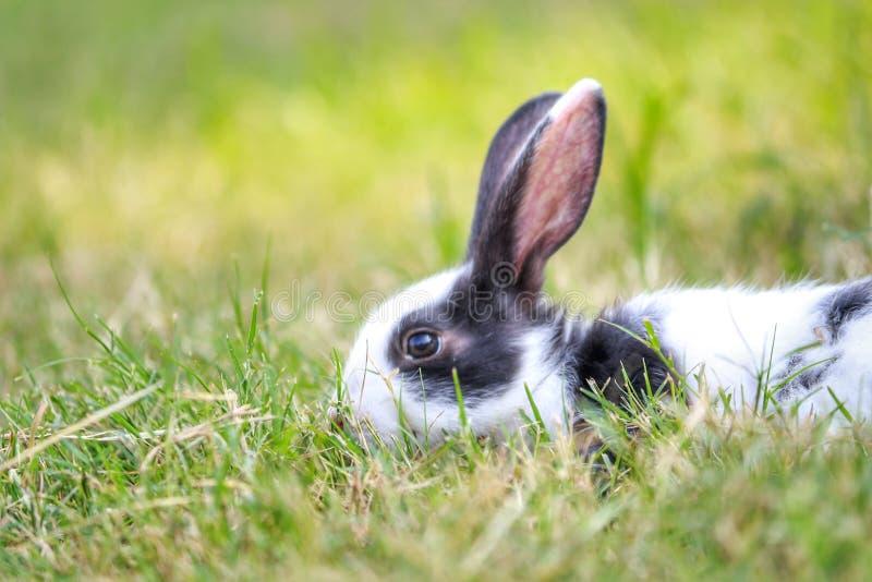 Lapin jouant sur l'herbe verte image stock