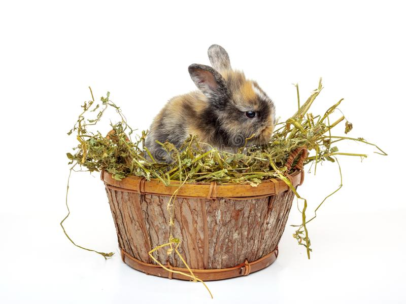 Lapin mignon de bébé dans un panier en bois avec l'herbe sèche photographie stock
