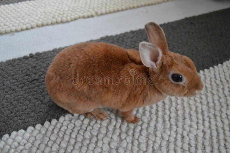 Lapin nain, peu de lapin, lapin à la maison, beau lapin, lapin pelucheux de lapin mignon photos libres de droits