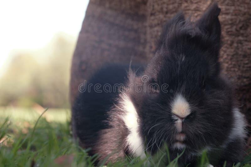 Lapin noir et blanc de lionhead photos stock