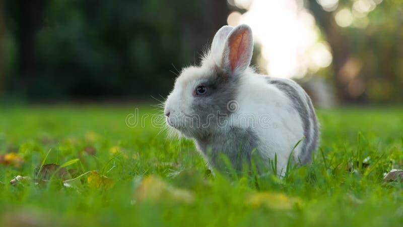 Lapin pelucheux mignon sur l'herbe verte en été (allongement de 16:9) photographie stock