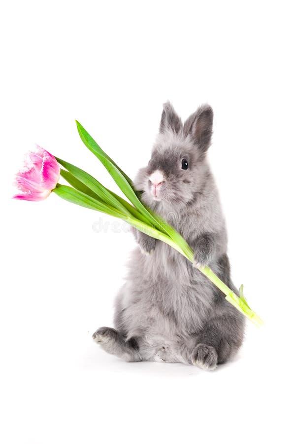 Lapin retenant une tulipe photos libres de droits