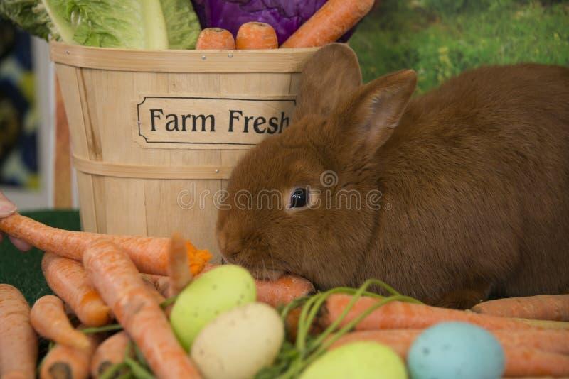 Lapin rouge de Thrianta de lapin de Pâques avec les carottes fraîches de ferme et les oeufs de pâques colorés photographie stock