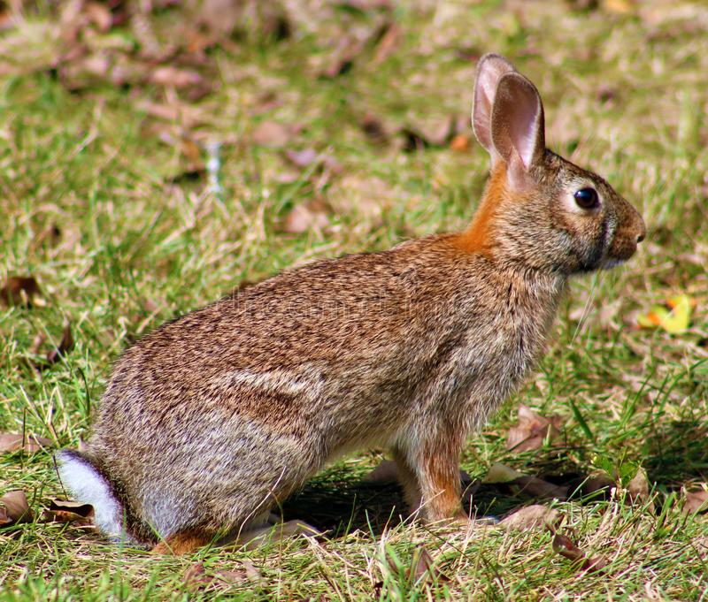 Lapin sauvage dans le lapin de brun du Michigan photos libres de droits