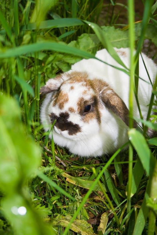 Lapin se cachant dans les herbes. images stock