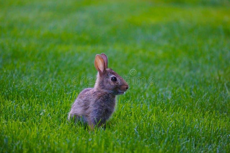 Lapin sur l'herbe photo stock