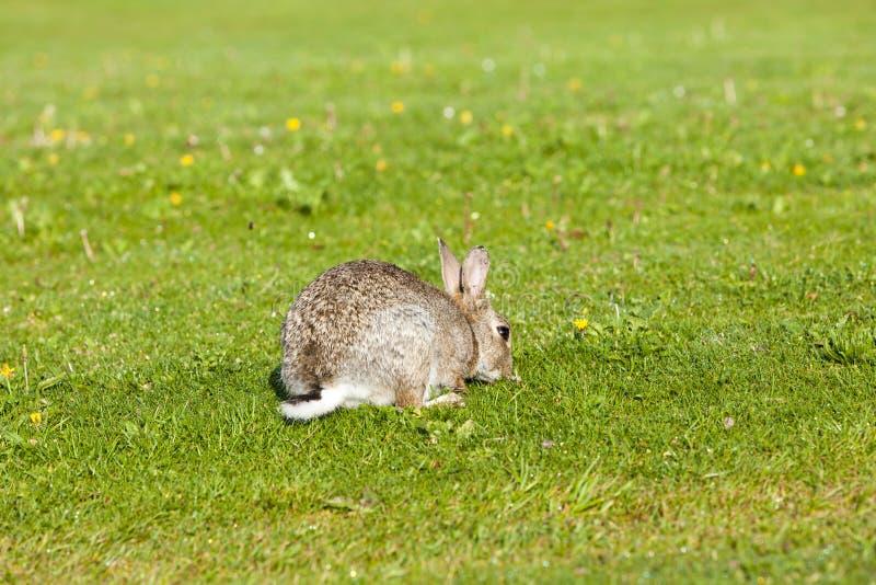 Lapin sur la pelouse photographie stock libre de droits