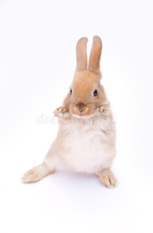 Lapin sur le blanc photo stock