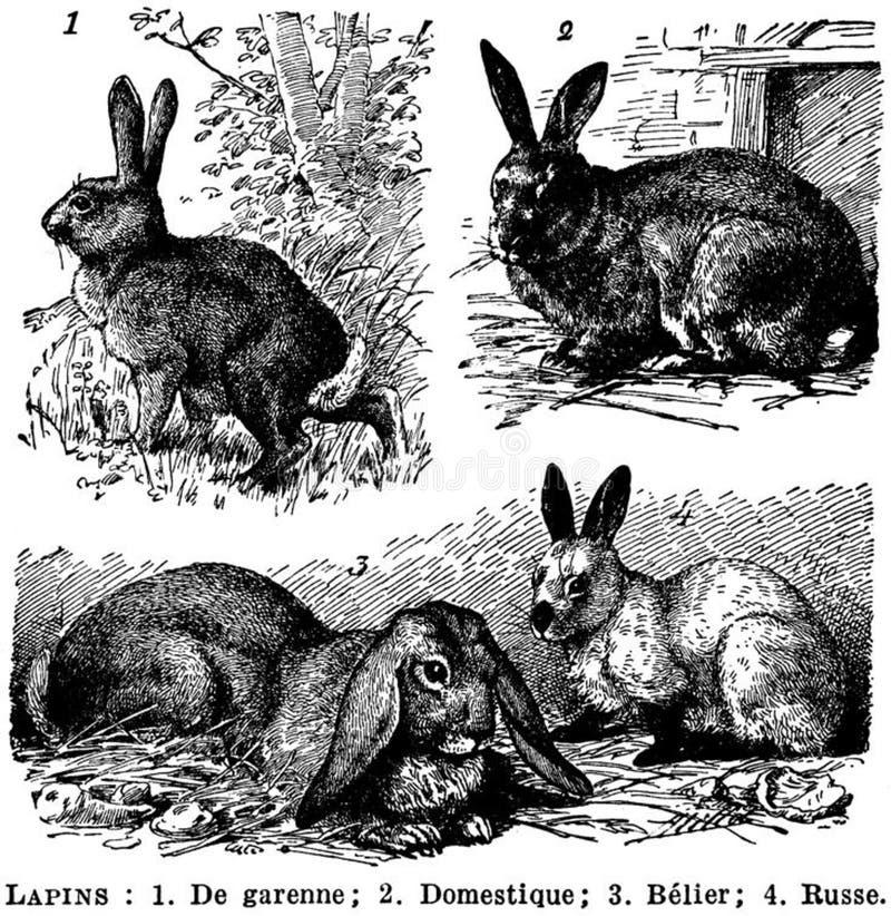 Lapins Free Public Domain Cc0 Image