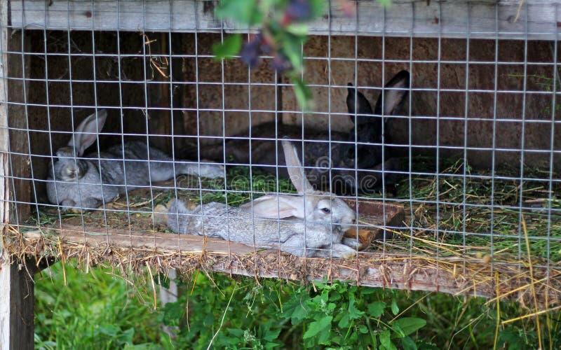 Lapins dans une cage à la ferme photographie stock