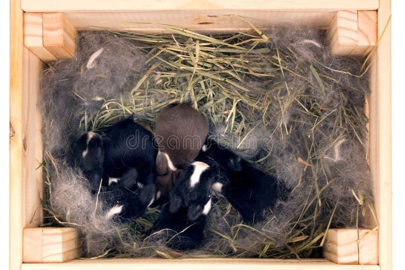 Lapins néerlandais nains nouveau-nés dans le nid de l'herbe sèche et vers le bas dans une boîte en bois Bébés une semaine après n photographie stock libre de droits