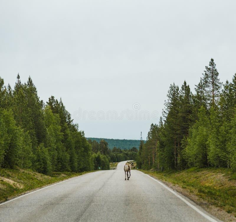 Lapland Finland, ensam ren som går på vägen arkivbild