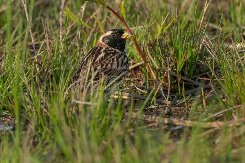 Download Lapland Longspur stock photo. Image of birding, horizontal - 116793028