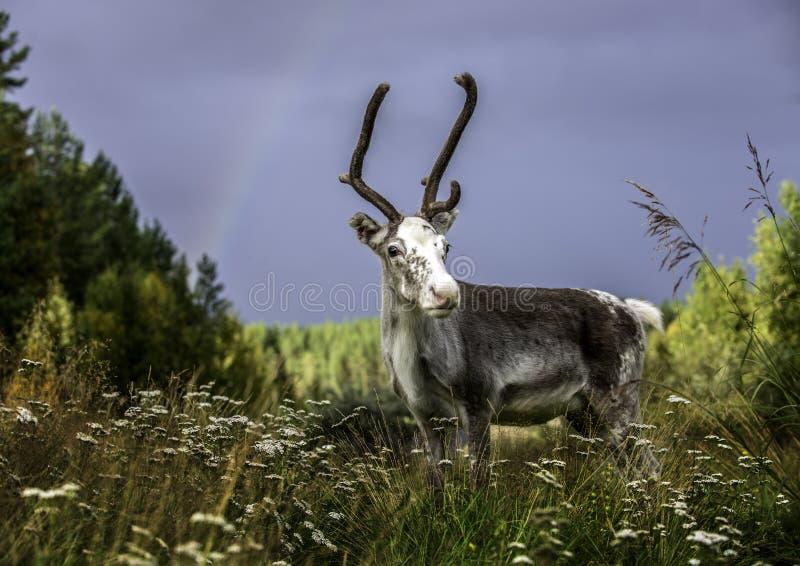 Lapland, Noordelijk Finland stock afbeelding