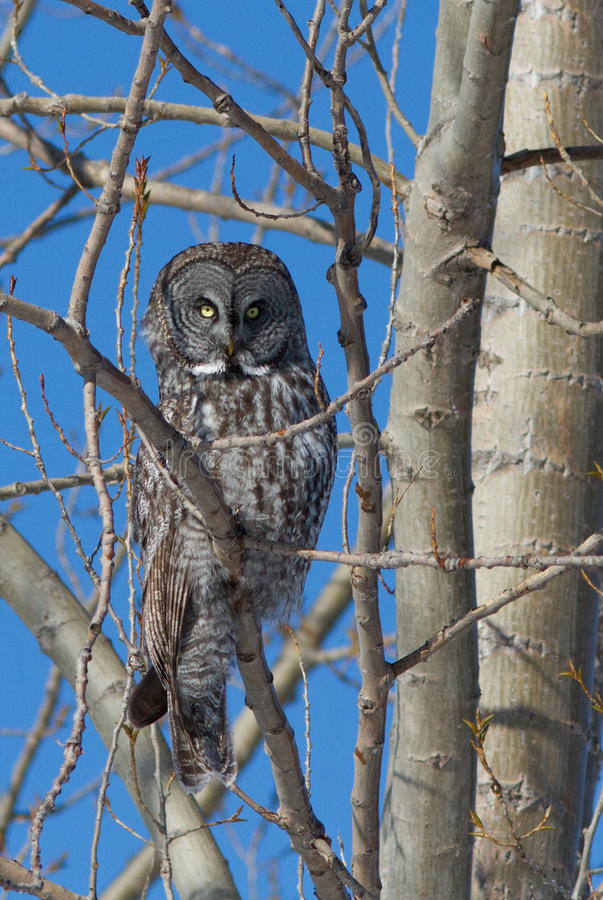Download Lapland Owl Royalty Free Stock Photography - Image: 28628467