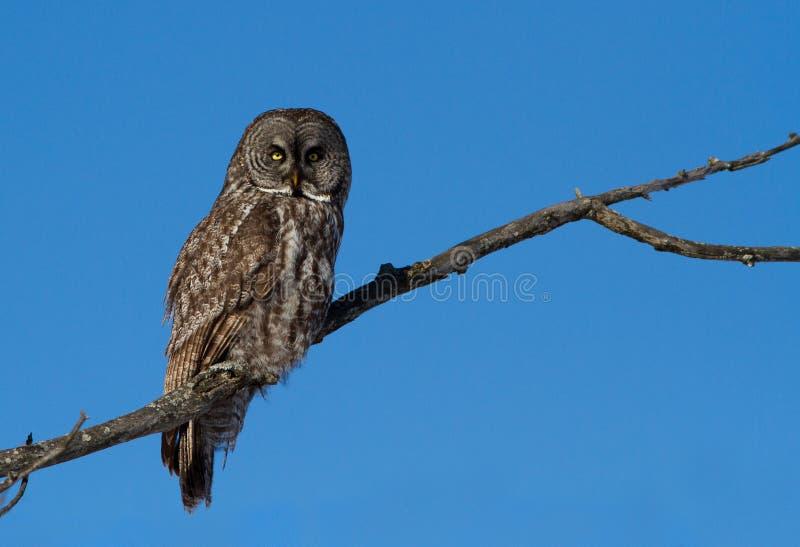 Download Lapland owl stock image. Image of beak, strix, invasion - 28628497