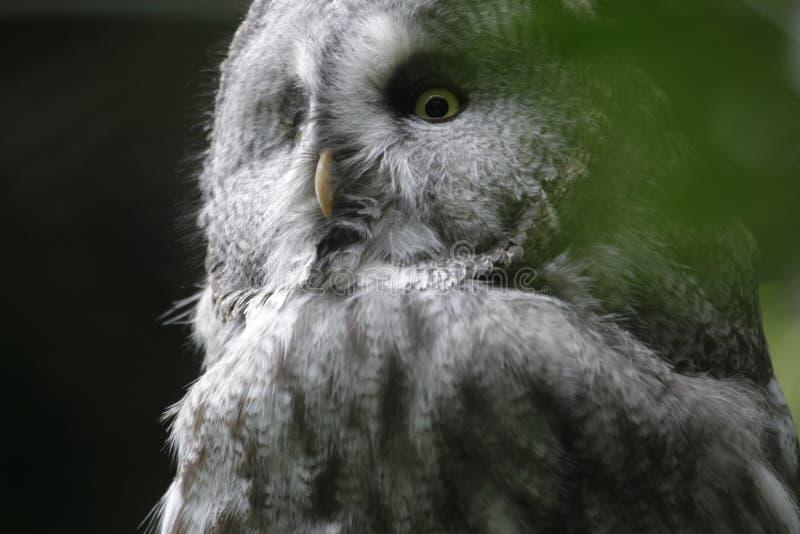 Lapland Owl in wildlife park