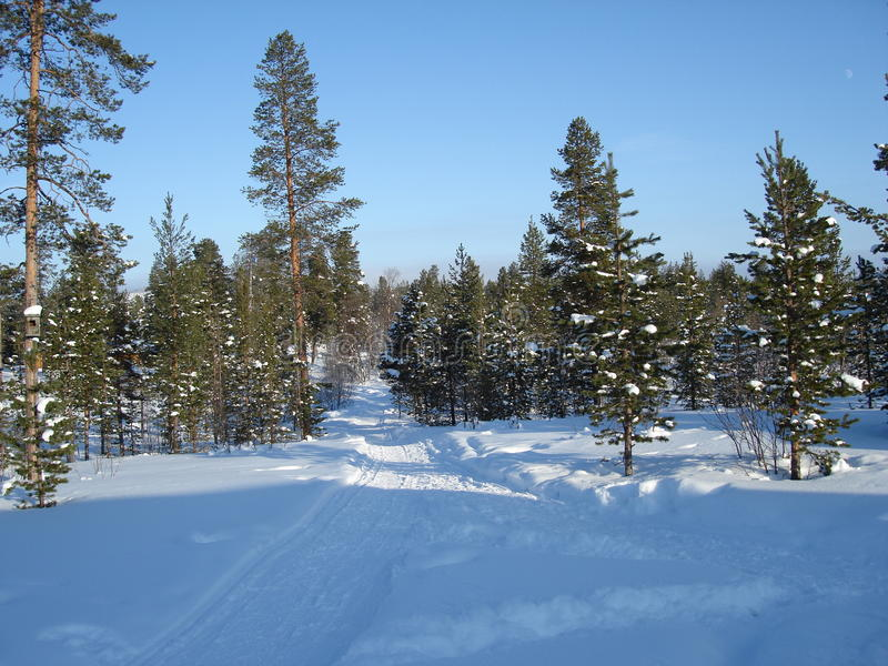 Download Lapland Pine Trees stock image. Image of forest, frozen - 13407989