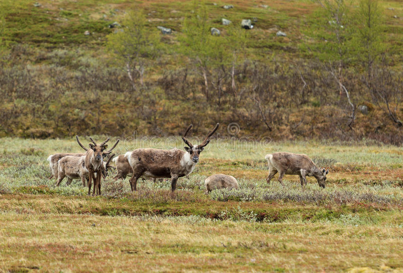 Lapland reindeer. Reindeer in Lapland, at the beginning of summer royalty free stock photography