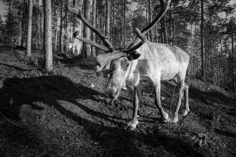 Lapland renifer zdjęcia stock