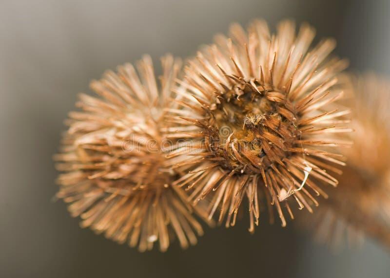 lappa arctium στοκ φωτογραφίες