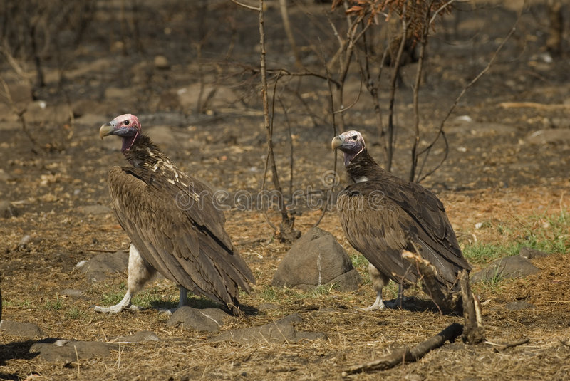 Download Lapped-faced vultures stock photo. Image of north, southern - 3510808