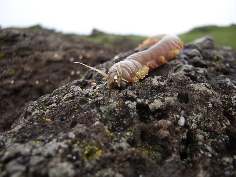 Lappen-Wurm-Monster auf den Felsen stockbilder
