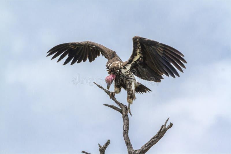 Lappet смотрел на хищника в национальном парке Kruger, Южной Африке стоковые фото