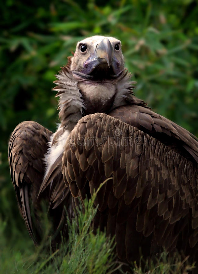 Free Lappet Faced Vulture Stock Photo - 19427490