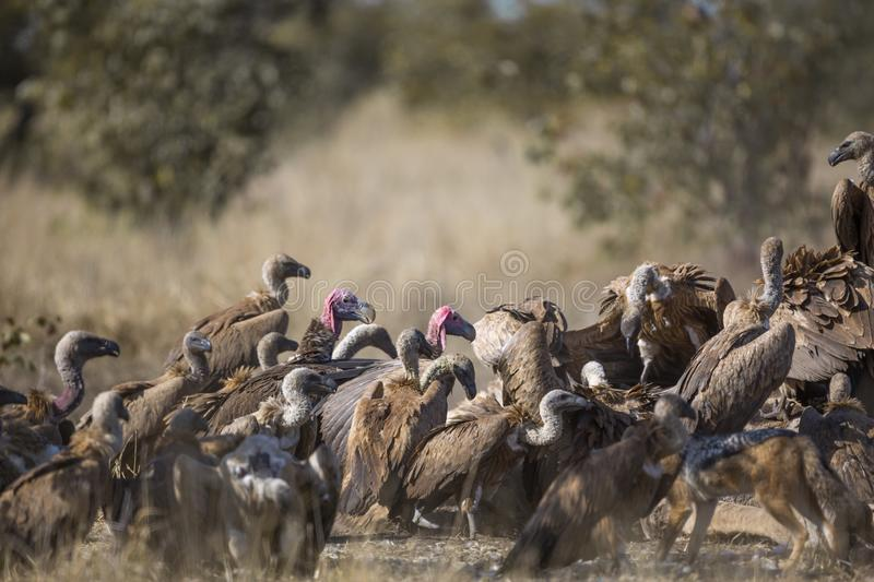 White backed Vulture in Kruger National park, South Africa. Lappet faced Vulture in middle of Group of White backed Vultures scavenging a giraffe`s carcass in stock images