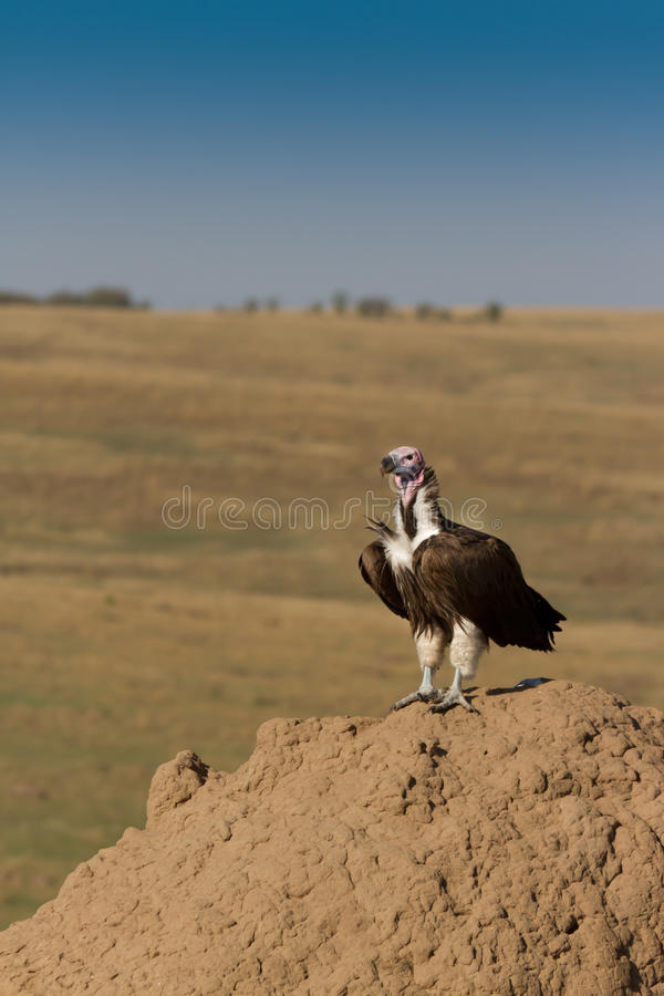 Free Lappet Faced Vulture On Termite Hill. Royalty Free Stock Photos - 16284838