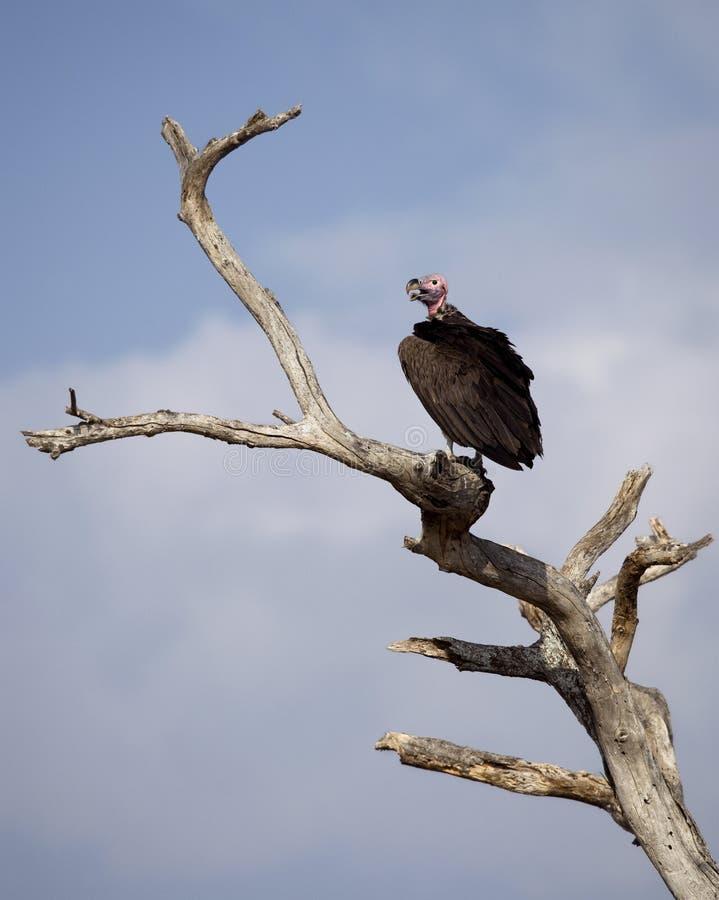 Free Lappet-faced Vulture, Torgos Tracheliotos Royalty Free Stock Photos - 15357828