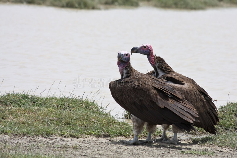 Lappet-faced Vultures in Serengeti National Park royalty free stock photo