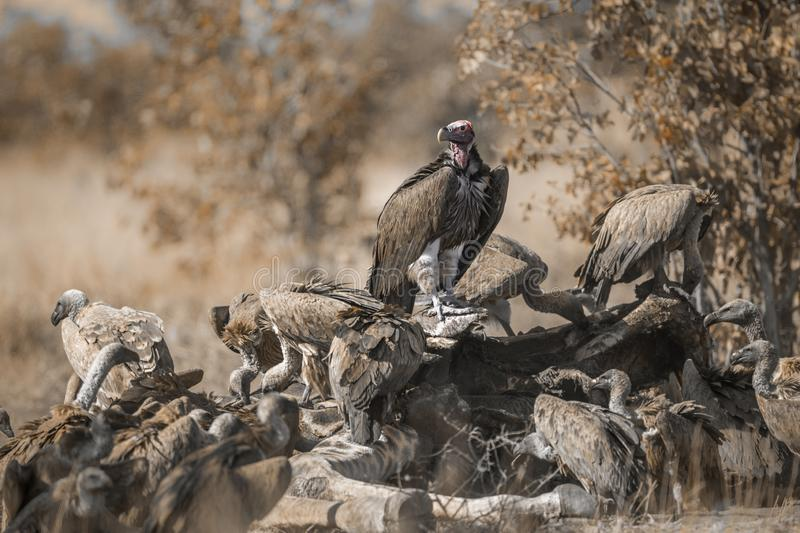 Lappet faced and white backed Vultures in Kruger National park, South Africa. Lappet faced and white backed Vultures on carcass in Kruger National park, South stock photos