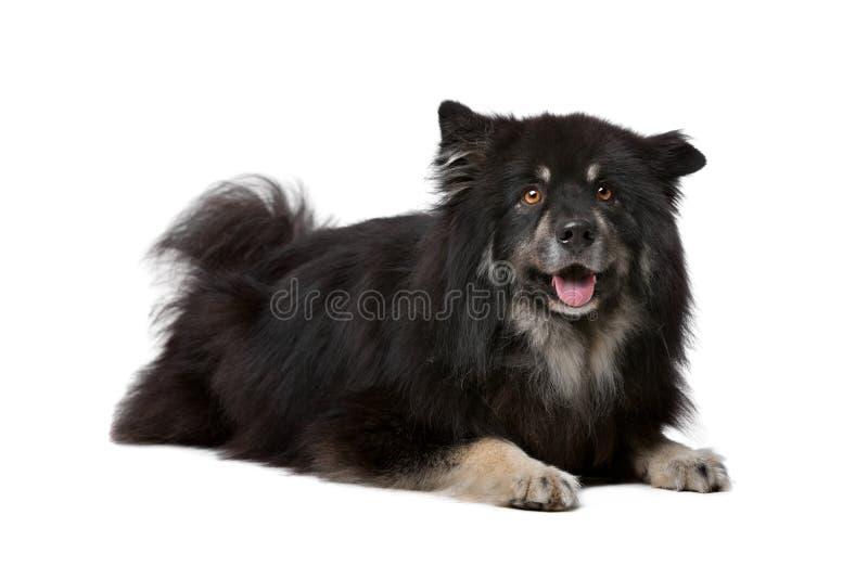 Lapphund finlandais image stock