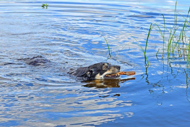 Lapponian-Hirte Lapinporokoira oder Lappländer-Renhund oder Schwimmen Lapsk Vallhund mit Stock im blauen See stockfoto