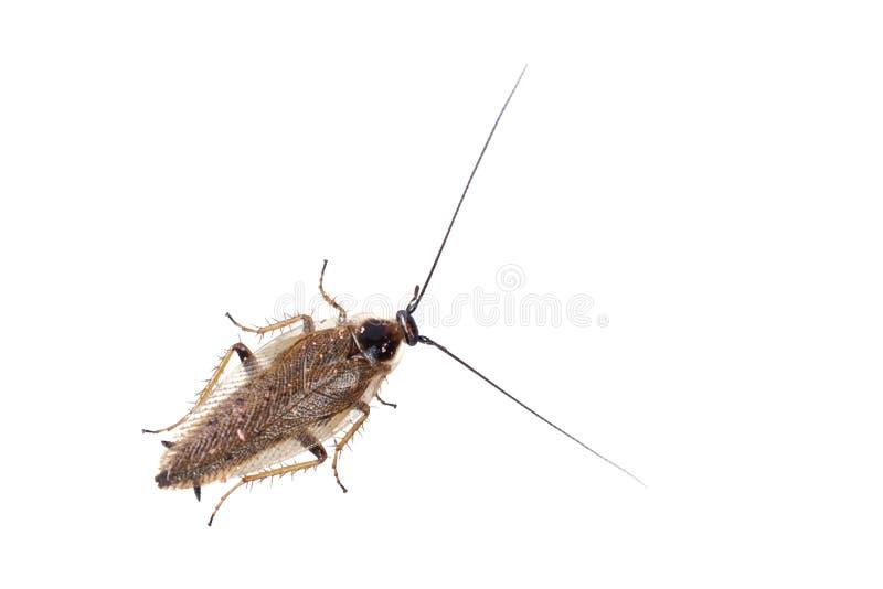 Lapponicus van kakkerlakkenectobius op een witte achtergrond stock afbeelding