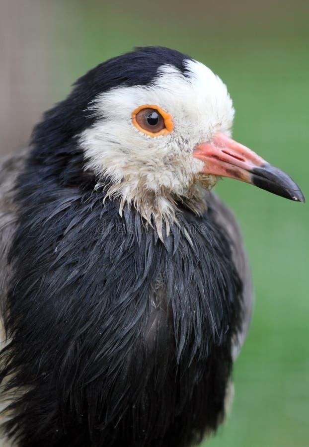 Lapwing Bird Royalty Free Stock Image