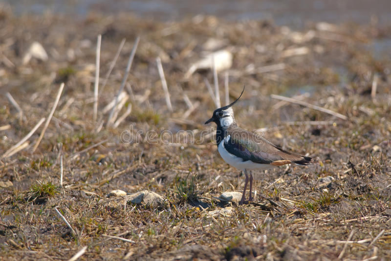 Lapwing on a field. Lapwing standing on the field in spring stock photos