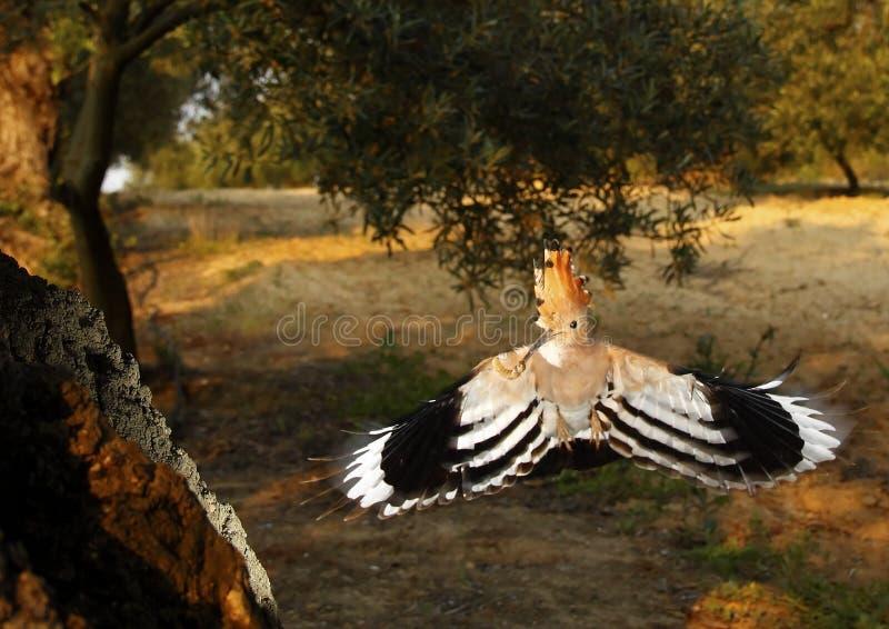 Lapwing in flight 353 stock image
