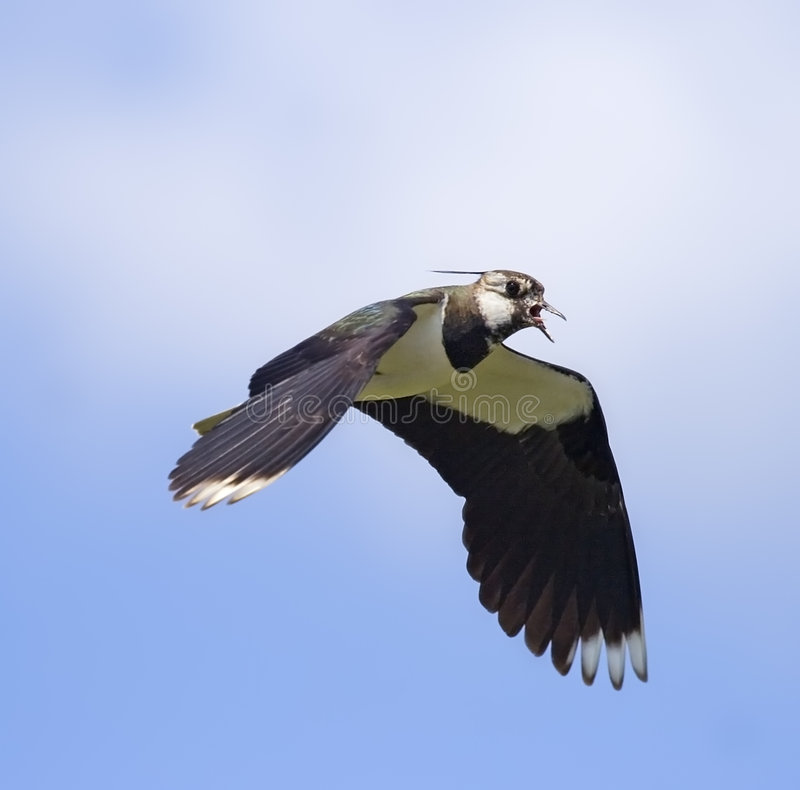 Free Lapwing In Flight Stock Photo - 5529330