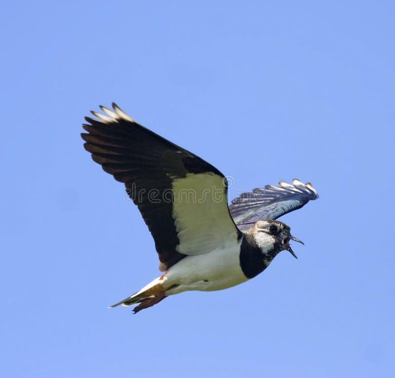 Free Lapwing In Flight Stock Photos - 5529333
