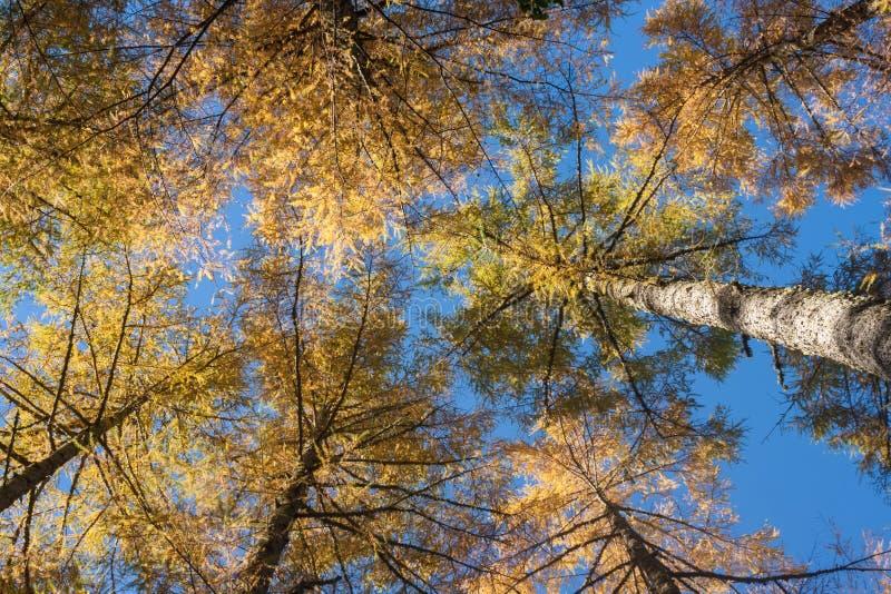 Larício europeus em cores do outono fotografia de stock royalty free