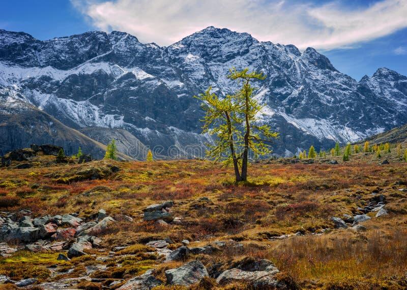 Larício nas montanhas fotografia de stock royalty free