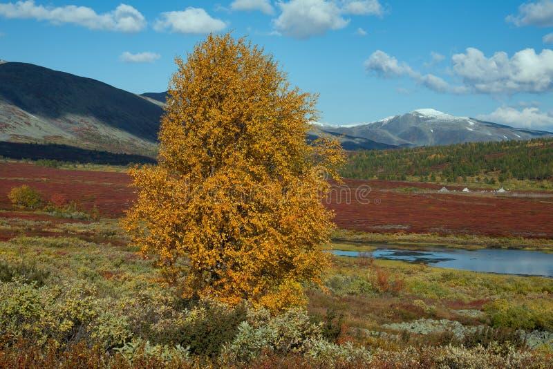 Larício só do amarelo do outono nas montanhas imagem de stock