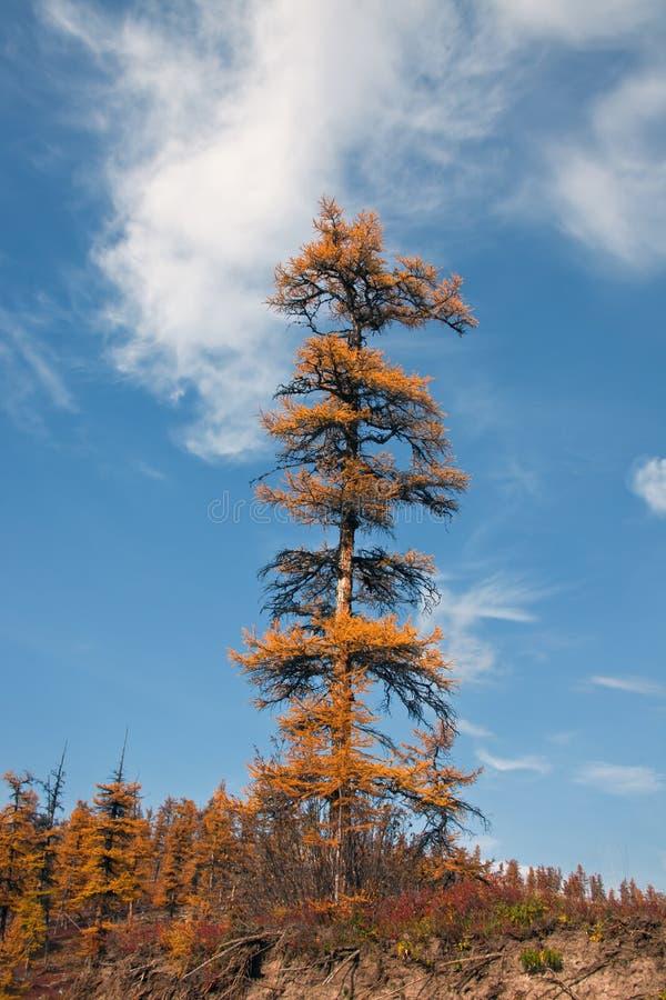 Larício Siberian da árvore só no outono no norte imagem de stock