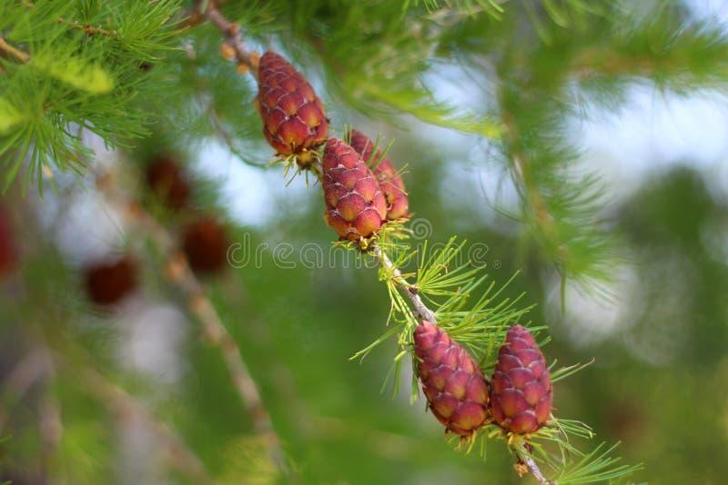 Larício verde do ramo com cones fotos de stock