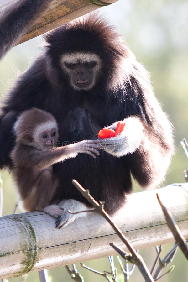 Lar Gibbon royalty free stock photos