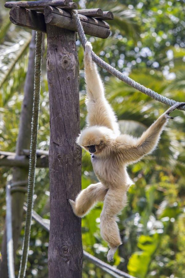 Lar Gibbon zdjęcia royalty free