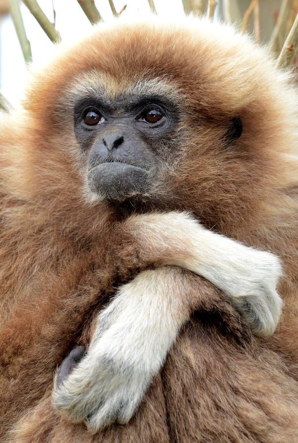 Download Lar Gibbon stock image. Image of monkey, brachiator, diurnal - 22684975